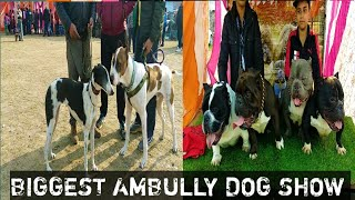 Biggest American Bully Dog Show With Breeders Information || American Bully || Am Bully || Scoobers