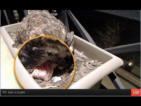 Alessondras okc great horned owl webcam