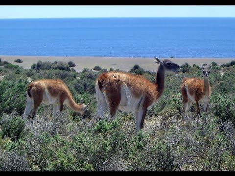 Lama, Guanaco, Caleta Valdés, Peninsula Valdes, Chubut Province, Argentina, South America