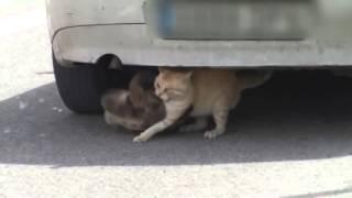 два кота дерутся и выясняют отношения(Самое лучшее и смешное видео только здесь., 2016-01-19T19:45:30.000Z)