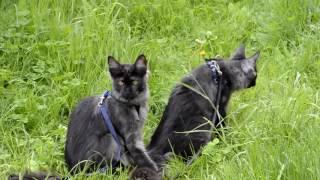 Котята мейн-кун 4 месяца гуляют на природе