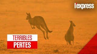 Incendies en Australie : 1 milliard d'animaux tués