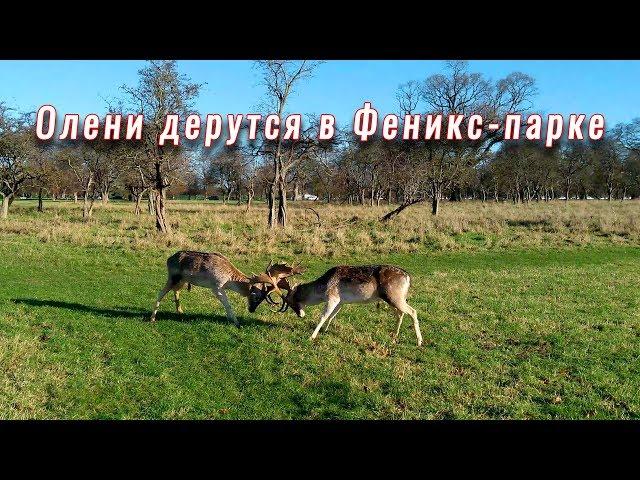 Deer fight in Dublin Phoenix park. Олени дерутся в Феникс парке.