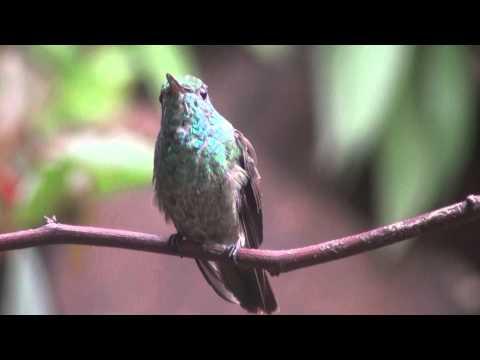 Picaflor esmeralda (Amazilia versicolor)