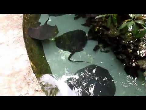 Stingrays at the aquarium Xcaret park 2013 1274