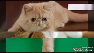 Кошки породы ЭКЗОТ Самые милые котята #узнай своего питомца
