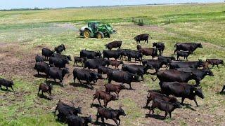Farmer sprays cows to kill what??