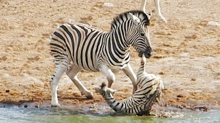 Repeat youtube video Zebra Tries to Kill Foal While Mother Fights Back