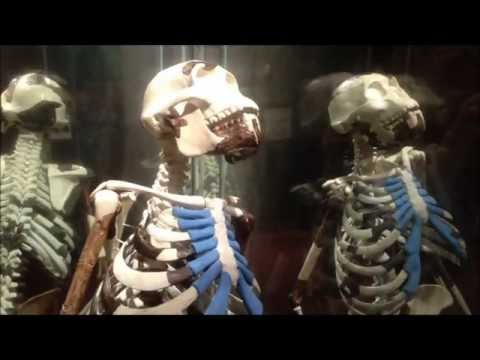 Addis Ababa, Ethiopia: National Museum. Reconstructed full skeleton of Lucy