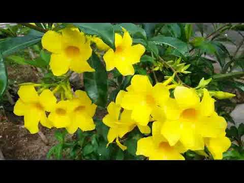 Allamanda cathartica yellow bell golden trumpet flowering allamanda cathartica yellow bell golden trumpet flowering plant mightylinksfo