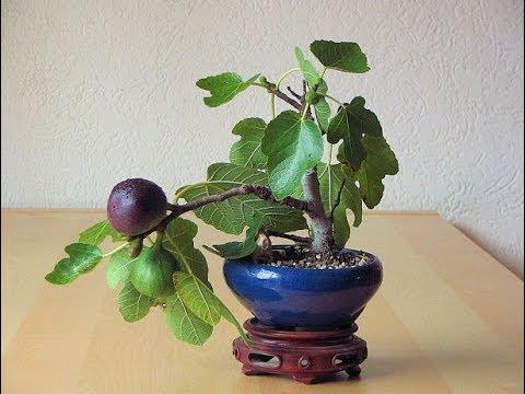 Fruit Bearing Mame Bonsai Youtube