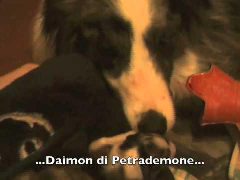 www.petrademone.it border collie cuccioli Niobe 2010 allevamento di petrademone agility dog.m4v