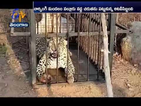 Leopard hulchal in Medak district
