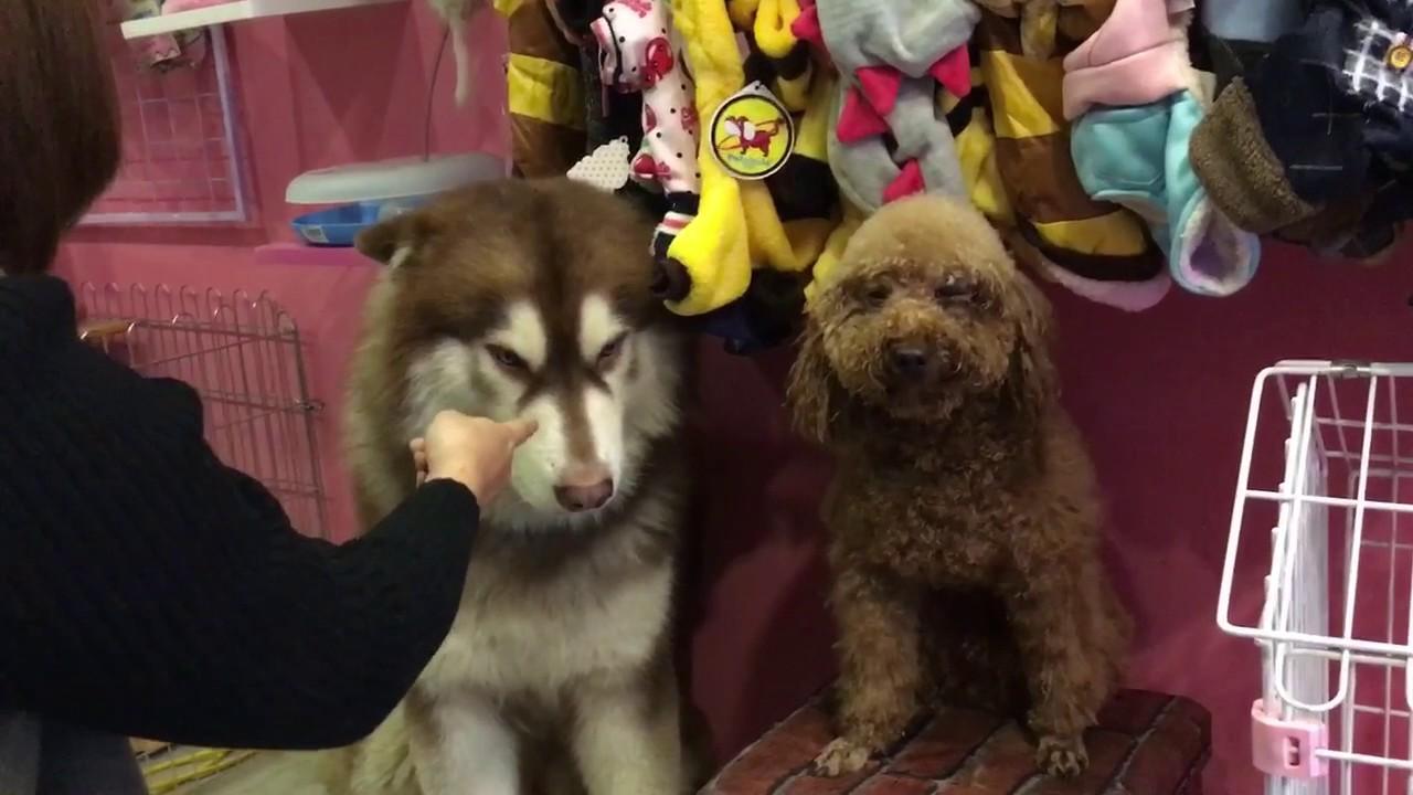 2 chú chó Alas Mật vs Poodle đánh nhau bị chủ phạt - Mật Pet Family