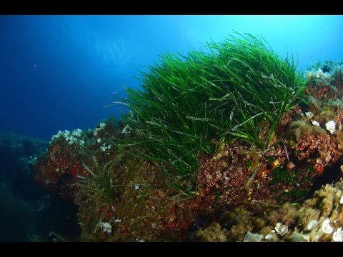 Global Ocean TV - Episode 45 - Posidonia Oceanica - Ibiza (updated)