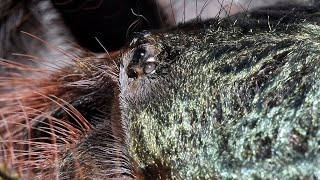 Feeding 5 of my tarantulas including my new B. emilia.