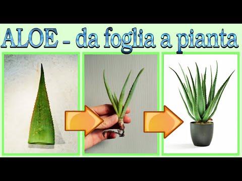 Eccezionale Metodo Per Riprodurre L ALOE, Riprodurre L' Aloe Utilizzando Solo Una Foglia, Senza Semi