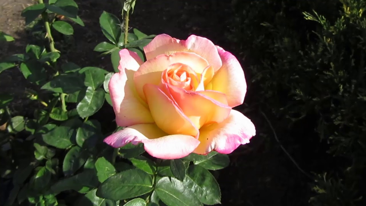 Rose Gloria Day: the most popular flower in history