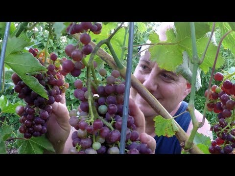Harvesting 11 LBS Of Grapes From The Backyard Food Forest Garden In 5 Minutes!