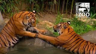 Malayan Tigers get Icy Treats on a Hot Day - Cincinnati Zoo