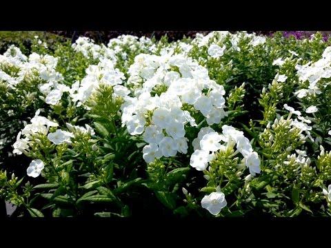 Best Garden Perennials Phlox Danielle Youtube