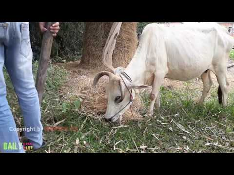 Thumbnail: wow!! Brave Boy catch village Snake - How to catch fish snake near the Cow