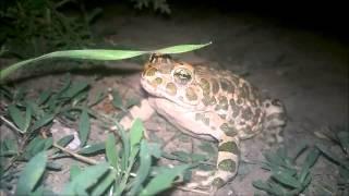 """Кагульская лягушка есть жука)) """"В мире животных"""" под боком"""