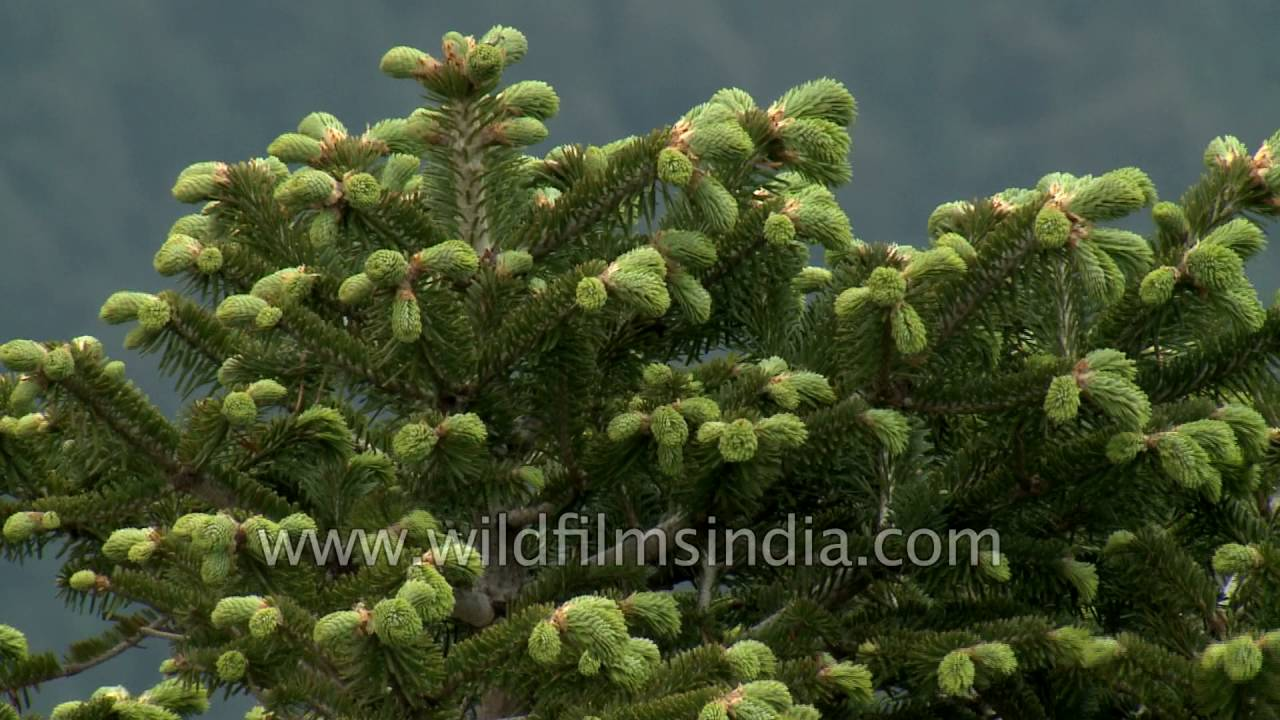 Delavay Fir Abies Delavayi In High Himalaya Youtube