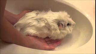how to give your guinea pig a bath