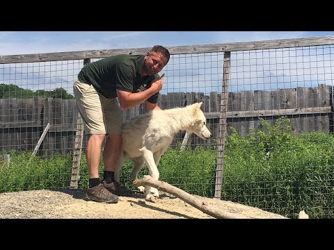 Thumbnail: Animal Adventures with Jordan: Arctic Wolves