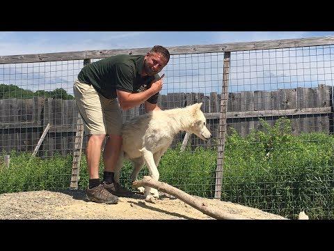 Animal Adventures with Jordan: Arctic Wolves