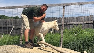 Animal Adventures with Jordan: Arctic Wolves thumbnail