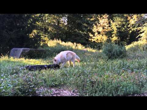 The Wolf Conservation Center has a music video on YouTube thanking people for their support.