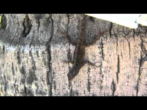 Hawaii Vacation: Ep.2 Hawaiian Anole Lizard (wild)