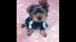 Yorkshire Terrier Puppy Runs In His New Coat Funny