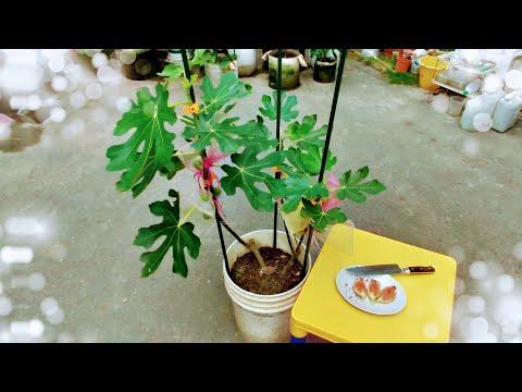 如何幫盆植「無花果」整枝、套袋。