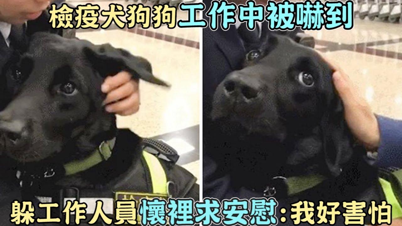 檢疫犬狗狗「工作中被嚇到」躲工作人員懷裡求安慰:我好害怕