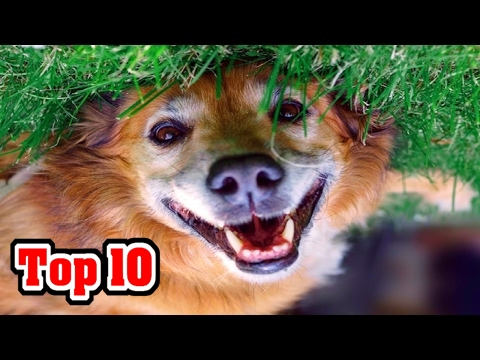 Top 10 BEST DOG BREEDS (AKC Rankings)