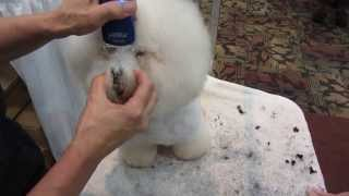 dog grooming - bichon eyes