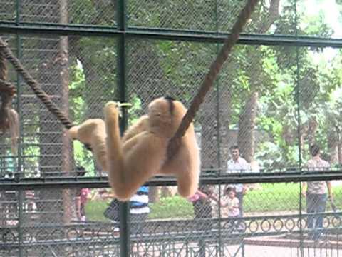 Khỉ gió