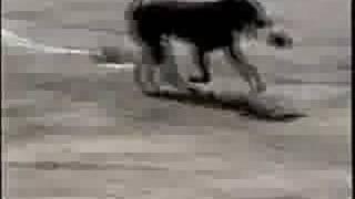 Labrador Retriever - Hunting dog training
