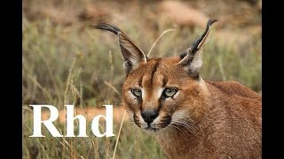 Caracal, Lions, Koodo of  South Africa  Karoo National Park.  Nature 2018 full HD.