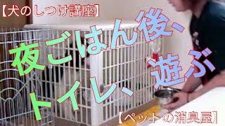 犬の夜ごはん後、トイレのしつけ、遊び方の動画です ☆ペットに安全安心...