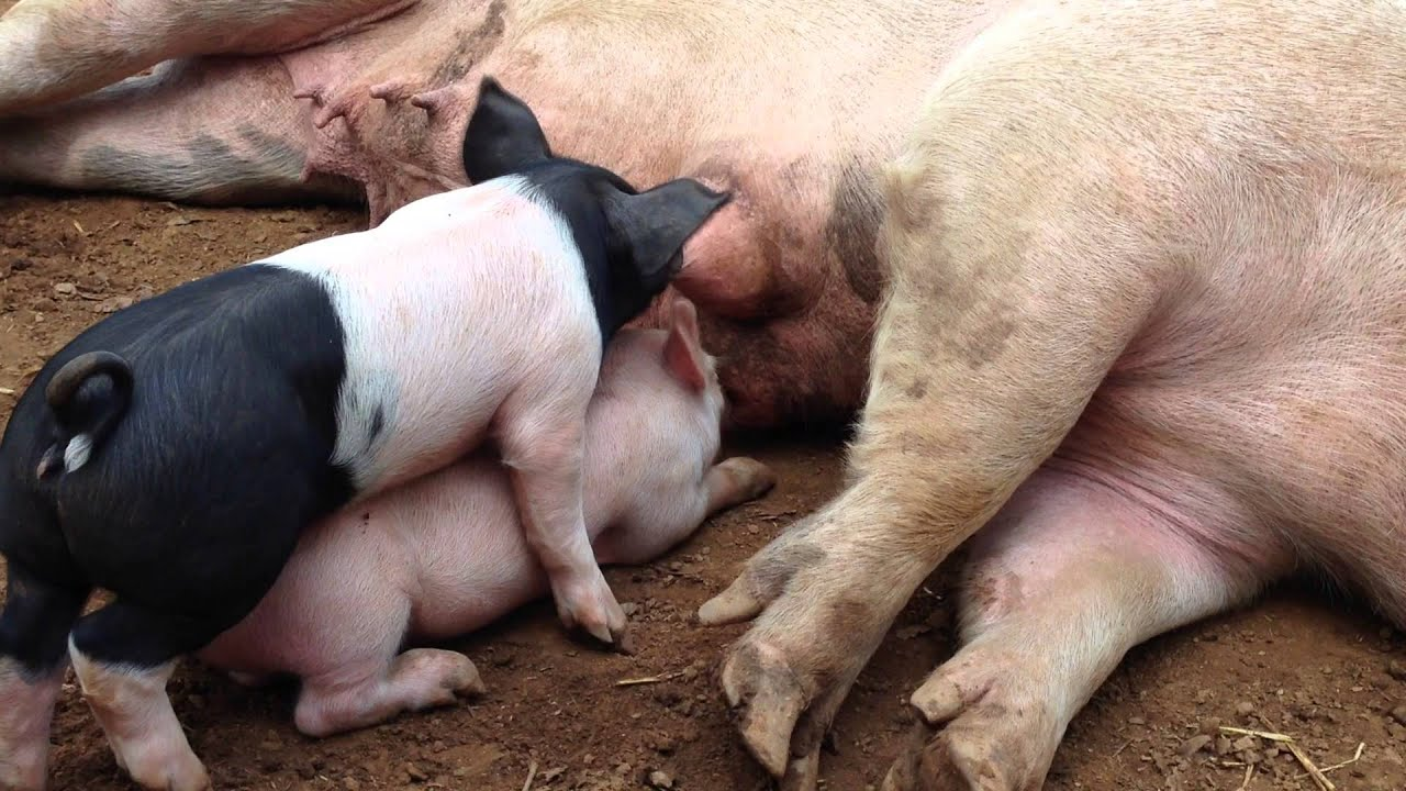 Photo of pig and piglet.