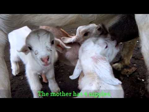 female-goat-with-4-nipples-has-given-birth-with-4-kids