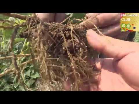農場からの報告~枝豆の収穫偏~