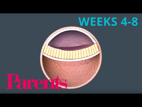 an-embryo-forms:-weeks-4-to-8-of-pregnancy-|-parents