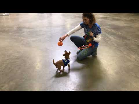 Cute Dog Halloween Trick 'Anky' 5 Mo's Hunt Terrier Dream Dog For Sale