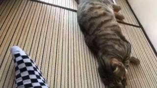 飼い主が帰って来た時の猫達の反応を生放送でお届け!! thumbnail