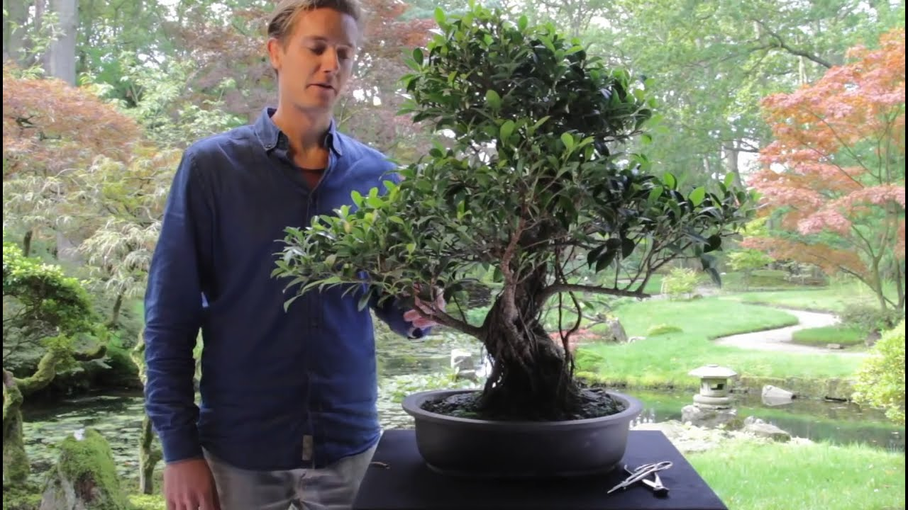 Plant Of The Week Ficus Indoorgarden